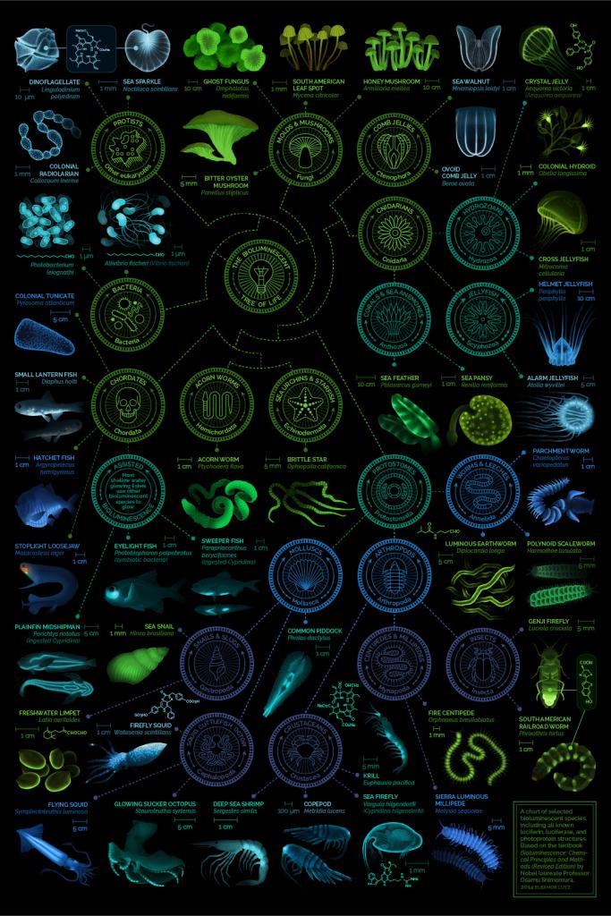 Grafico Eleanor Lutz Bioluminescenza